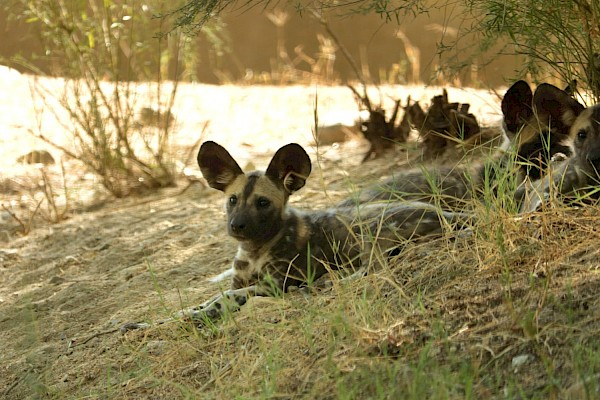 Mikumi the female African Wild Dog puppy