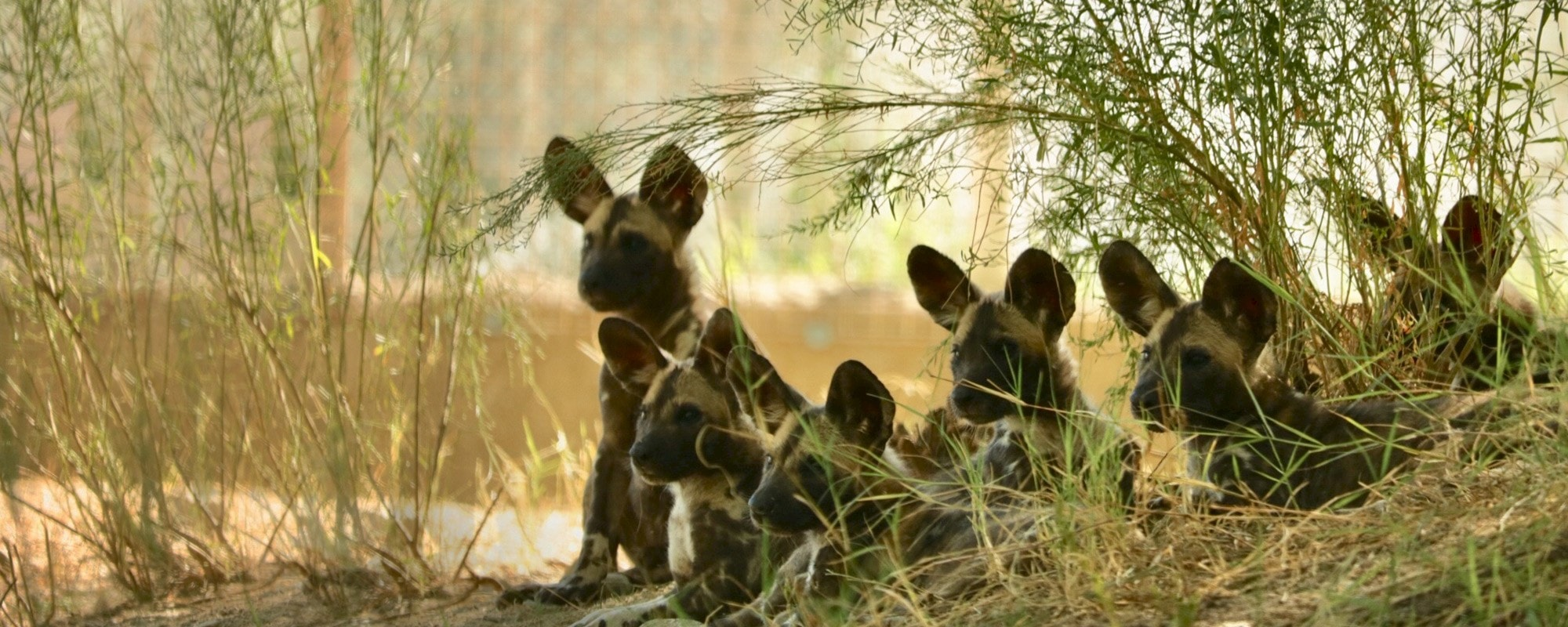 African Wild Dog puppies on habitat at The Living Desert