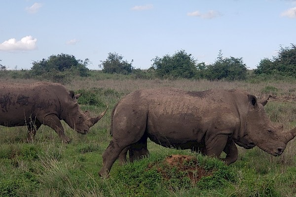 Rhinos which are one of the main focuses of Lewa Conservancy
