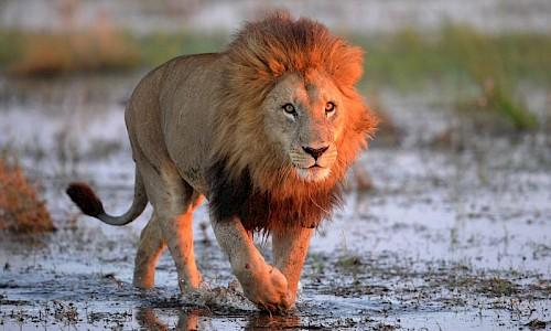 Male lion in Botswana