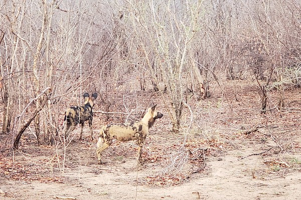 Botswana | African Painted Dogs