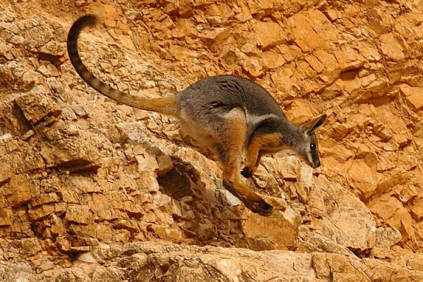Yellow-Footed Wallaby at The Living Desert Zoo and Gardens. Click to see more.