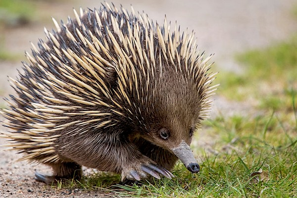 Short Beaked Echidna at The Living Desert Zoo and Gardens. Click to see more.