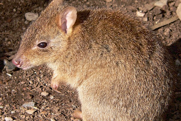 Bettong at The Living Desert Zoo and Gardens. Click to see more.