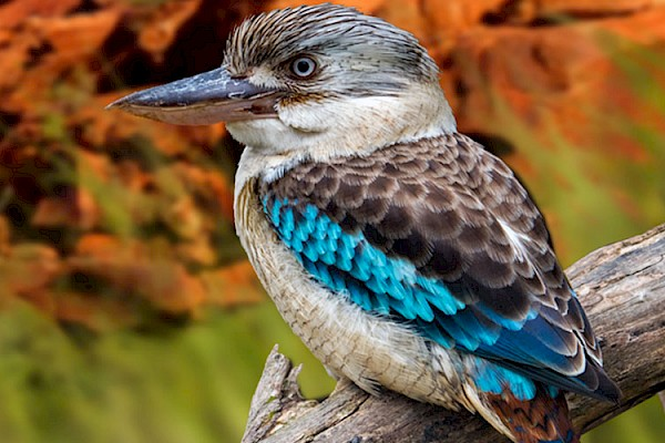 Kookaburra at The Living Desert Zoo and Gardens. Click to see more.