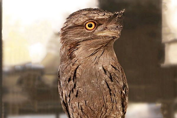 Tawny Frogmouth at The Living Desert Zoo and Gardens. Click to see more.