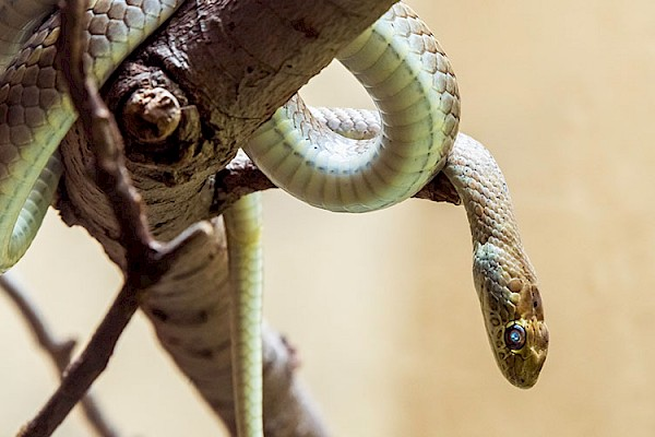 Olive Python at The Living Desert Zoo and Gardens. Click to see more.