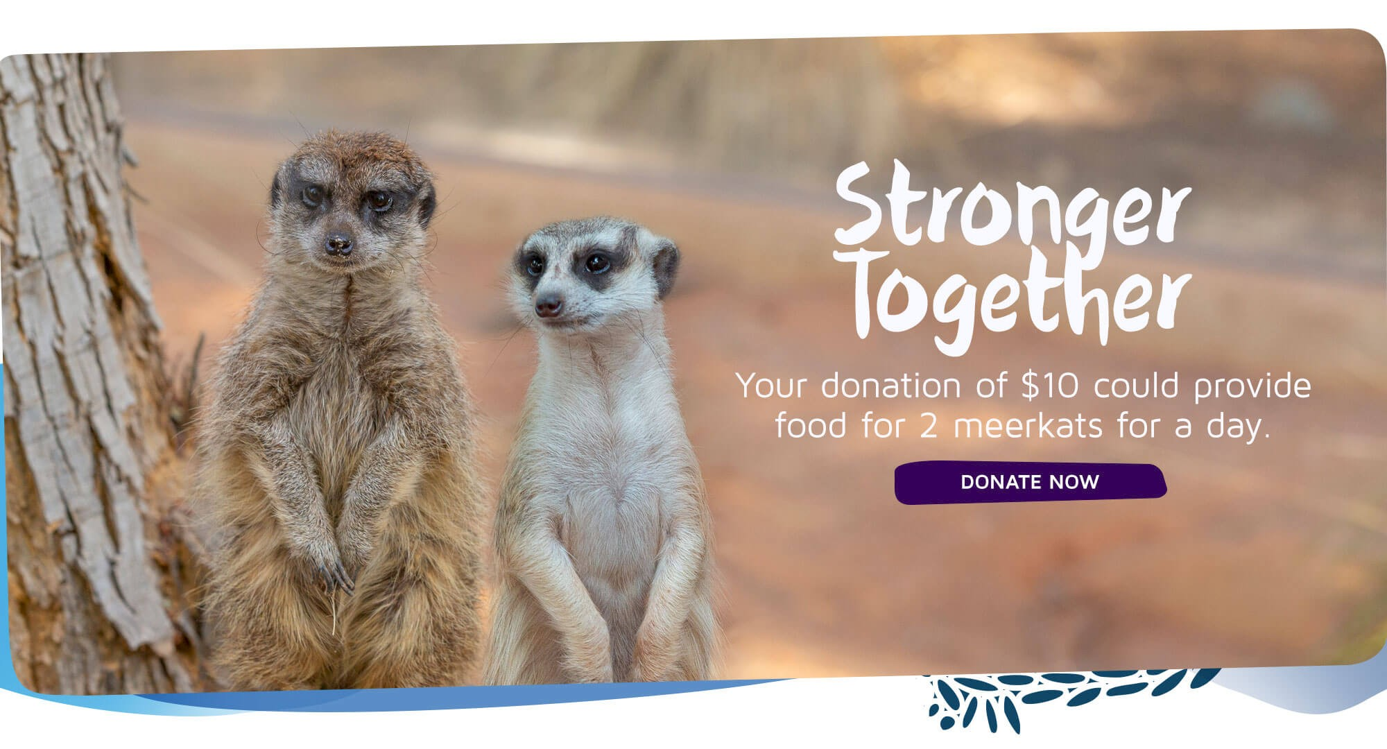 Your gift of $10 could provide food for 2 meerkats for a day. click to donate.