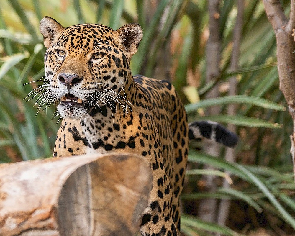 North American Jaguar