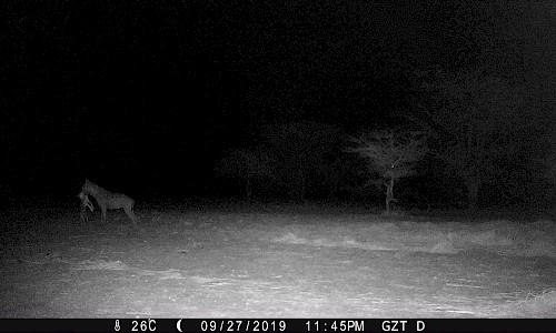 Camera Trapping Project | Hyena