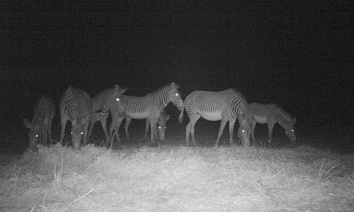 Camera Trapping Project | Zebra